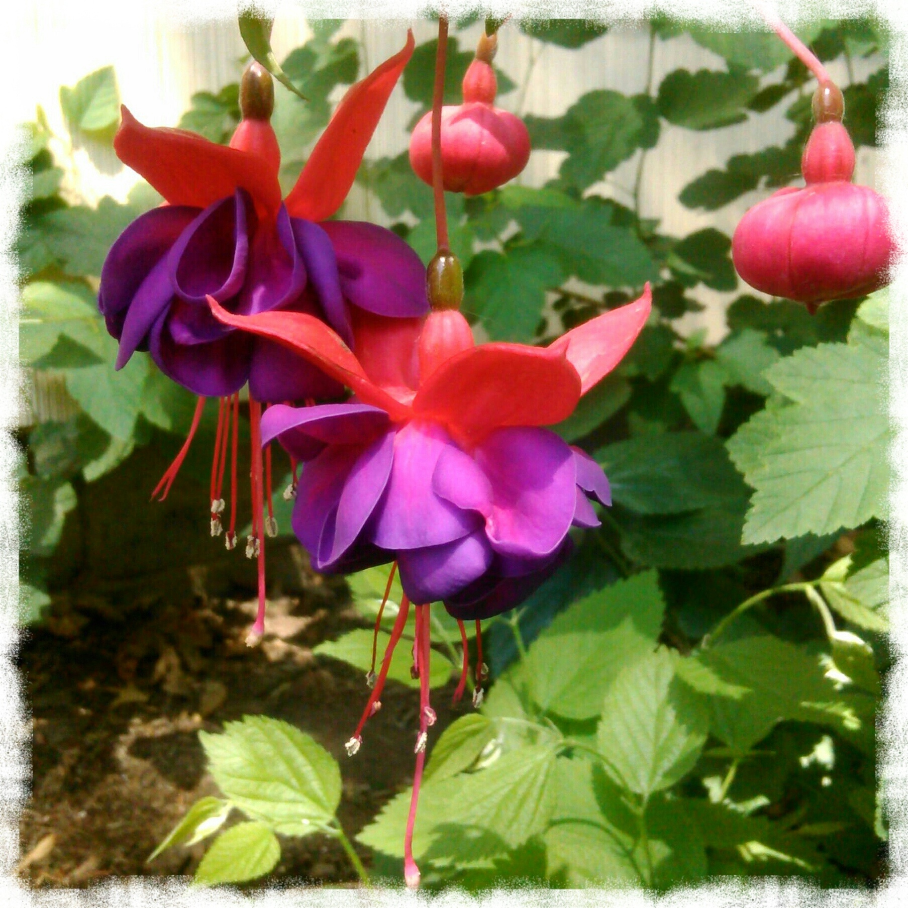 Spring pink and purple Fuchsia flower blossoms by Shalom Schultz Designs. Flower gardening. Garden love.
