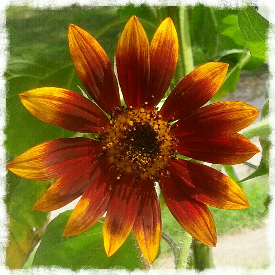 Red and Gold Sunflower Bloom by Shalom Schultz Designs