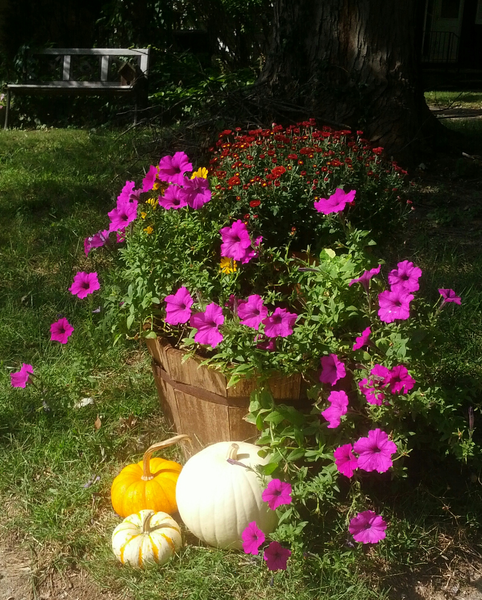 Fall cedar planter with purple petunias and red mums. Autumn flowers accented by white and orange pumpkins. Outdoor decorating. Country, cottage style rustic decor.