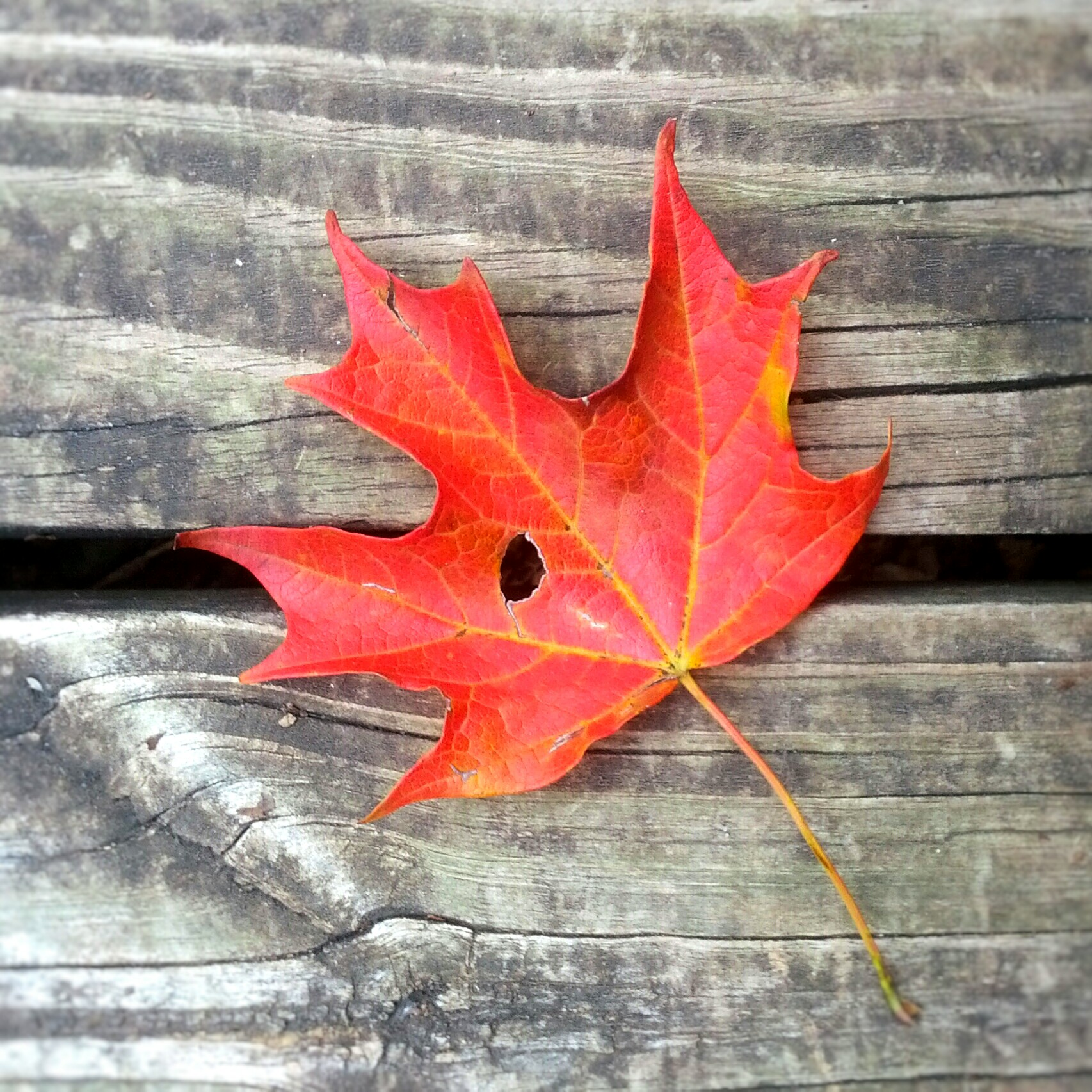 Fall Red Maple Leaf on Weathered Wood Background. Nature in autumn. Art photography. By Shalom Schultz Designs.